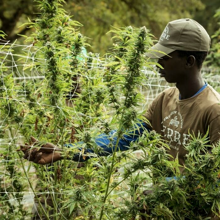 man inspecting an outdoor cannabis grow